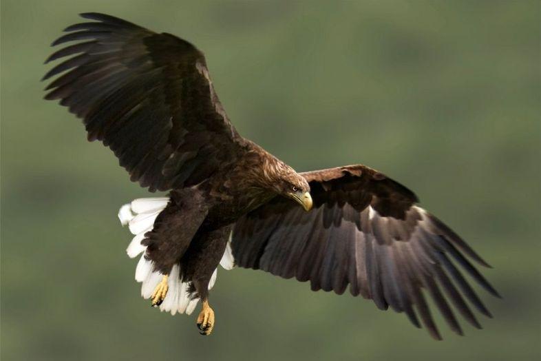 Белохвостого орлана на крыше дома запечатлел житель Корсакова